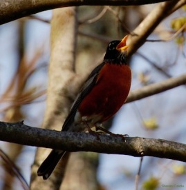 Robin story